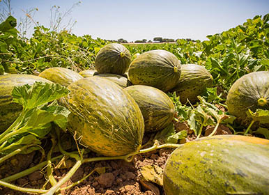 Quality products - Melones Villaconejos